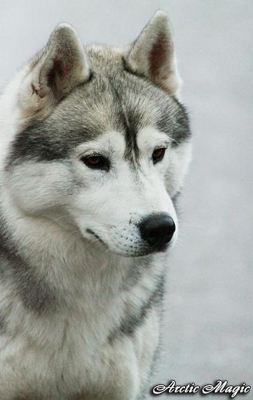 Пропала собака: сибирский хаски, кобель, 5 лет Когда потеряна собака: 13...